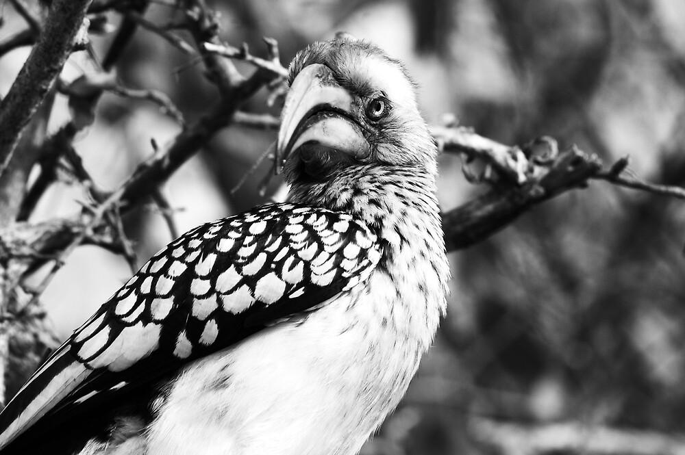 Hornbill by Lauraloz