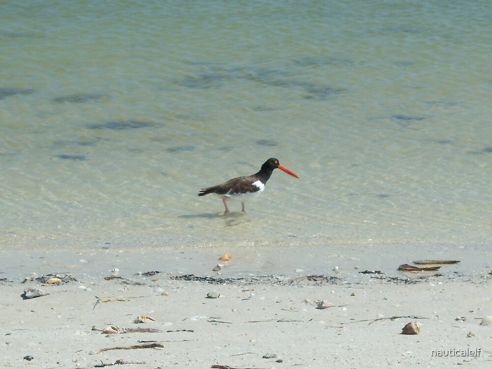 Oyster Catcher at Calidesi Island by nauticalelf
