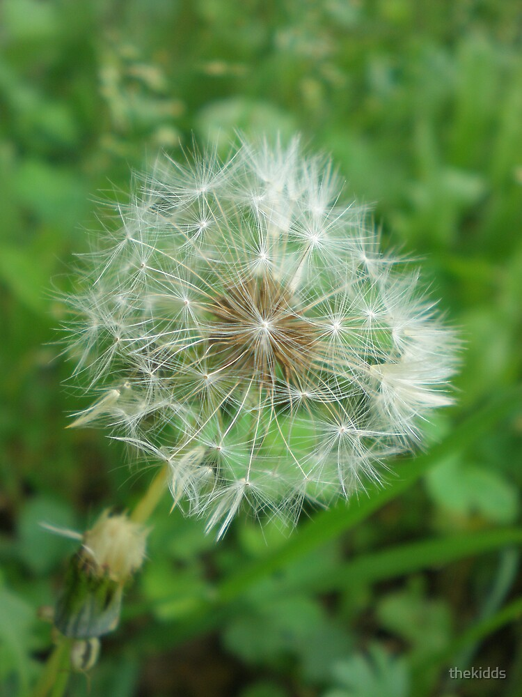 Dandelion by thekidds
