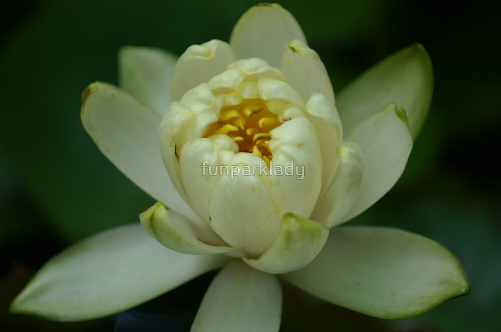 Water lily by funparklady