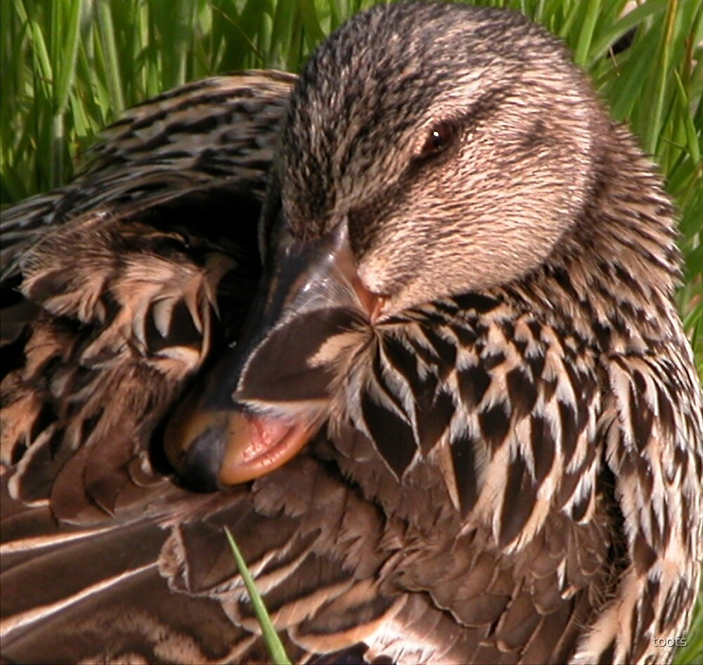 Resting Mallard Female Duck by toots