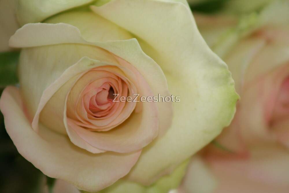 A white Rose with a touch of pink by ZeeZeeshots