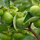 Green persimmon by judyA