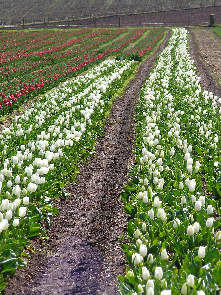 rows of lovely tulips at Wynyard's Table Cape (Tasmania) by gaylene