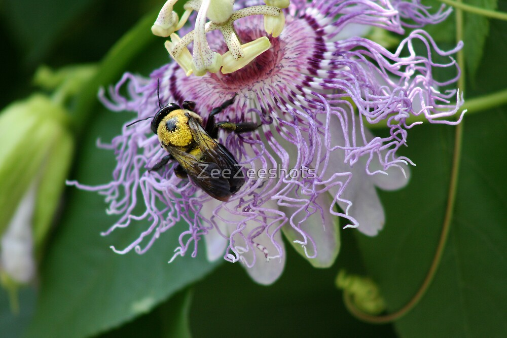 Passiflora Sprucei with a Bee by ZeeZeeshots