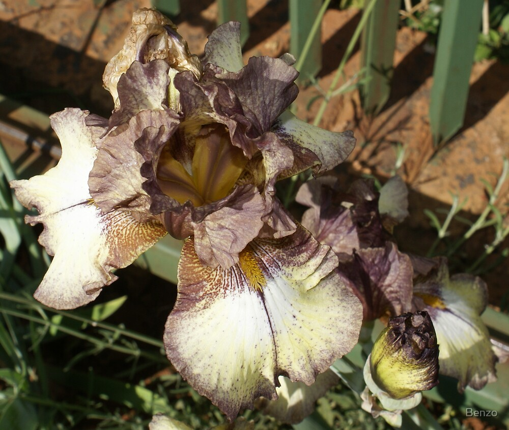 Iris Unusual by Benzo