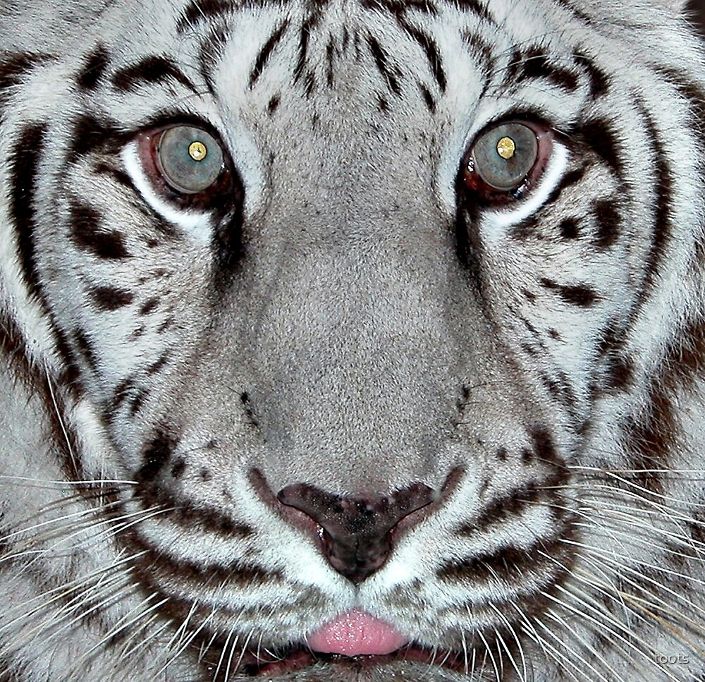 White Tiger with a Little Tongue by toots