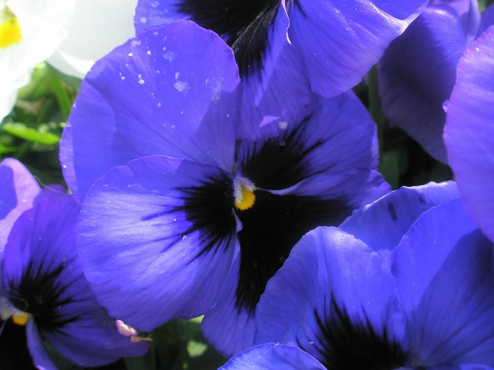 Purple Pansies by Melissa Park