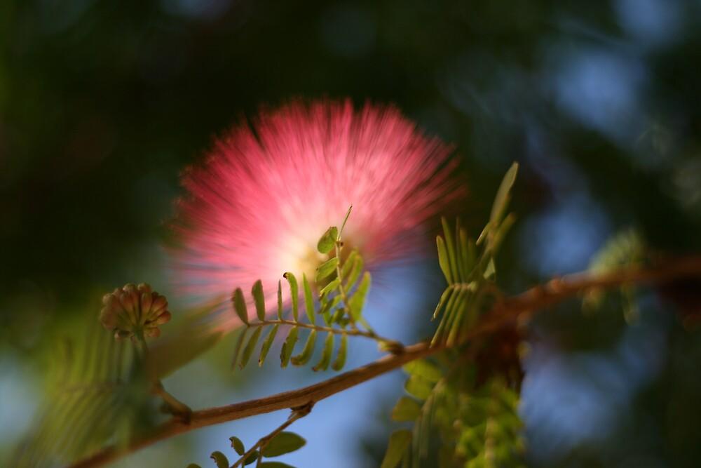 Lois' Mimosa by Bernard Raskin