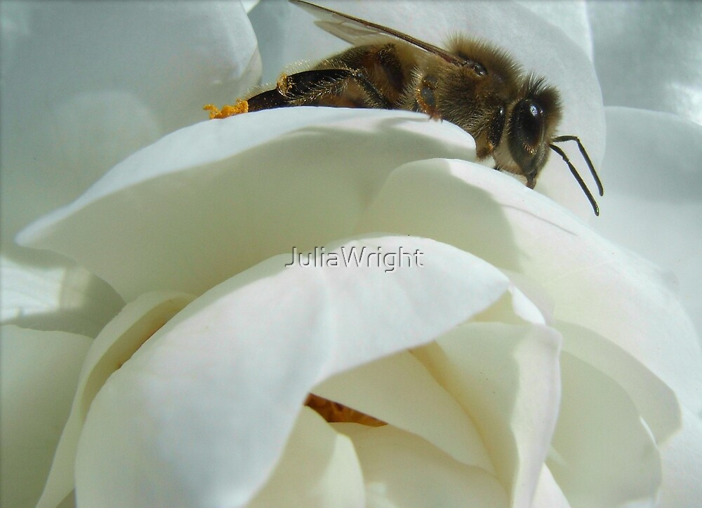 White Rose with Bee by JuliaWright