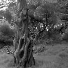 Gnarled Cedar by Wayne King