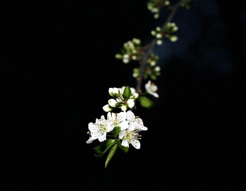 Blossom by AkashicFlame