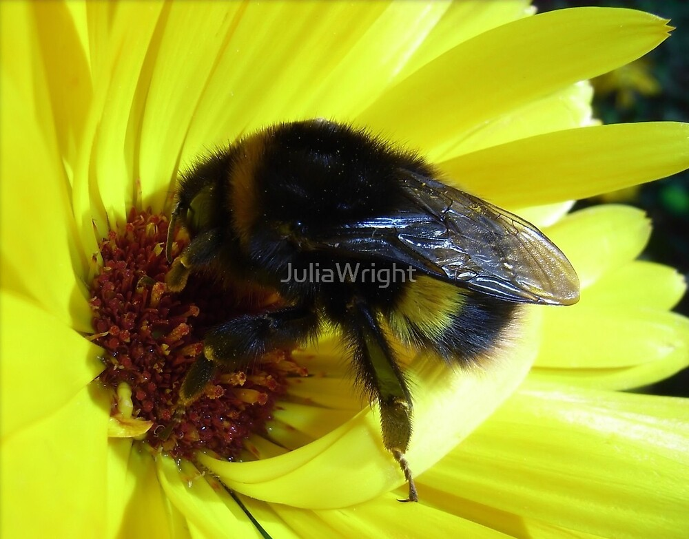 Bumble Bee by JuliaWright