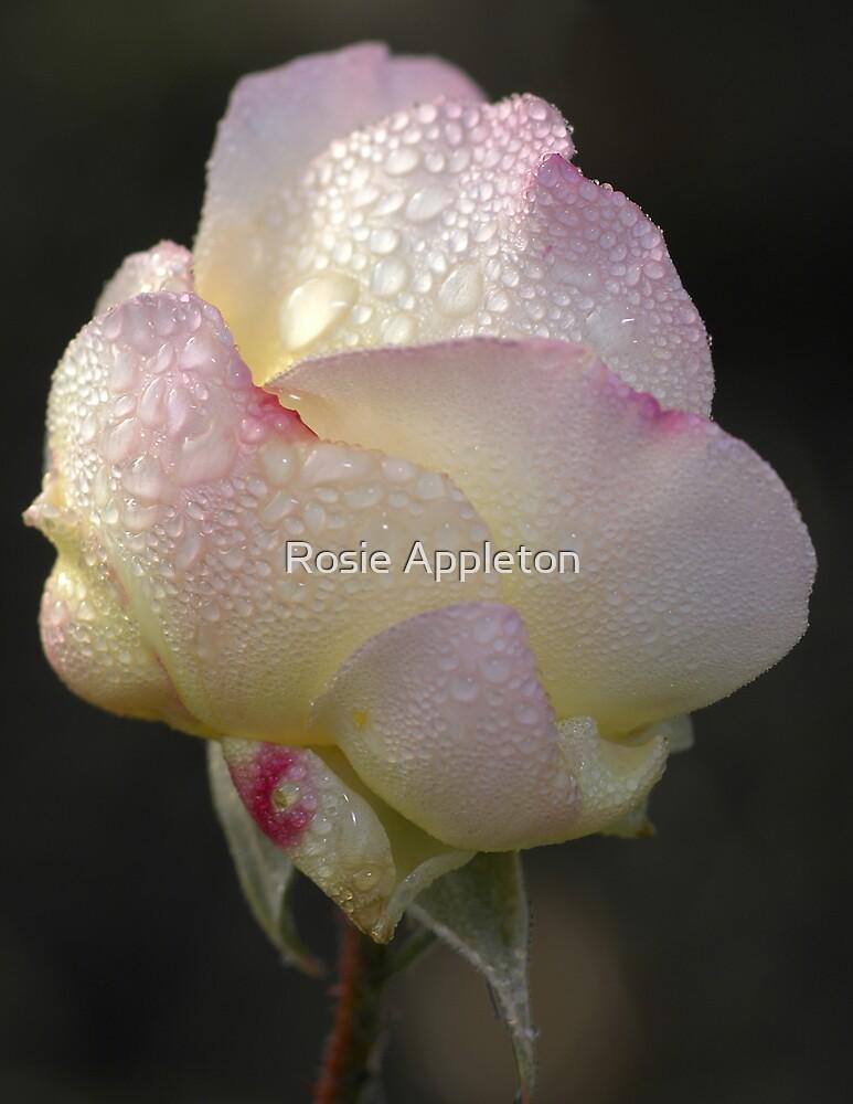 Dew on Peace by Rosie Appleton