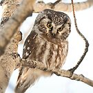 Boreal Owl by Marty Samis