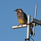 Wattle Bird by Tony Waite