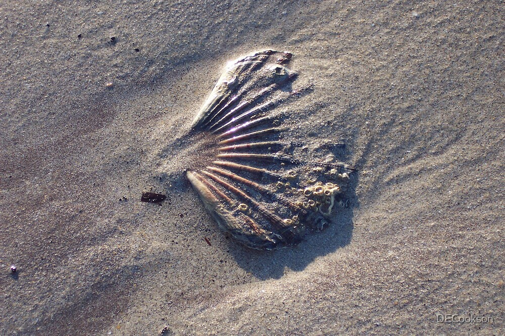 scallop shell by DECookson