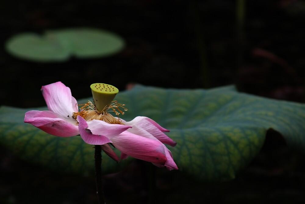 Dying lotus in the dark by richardseah