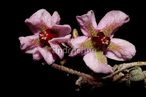 Thomasia microphylla  by andrachne