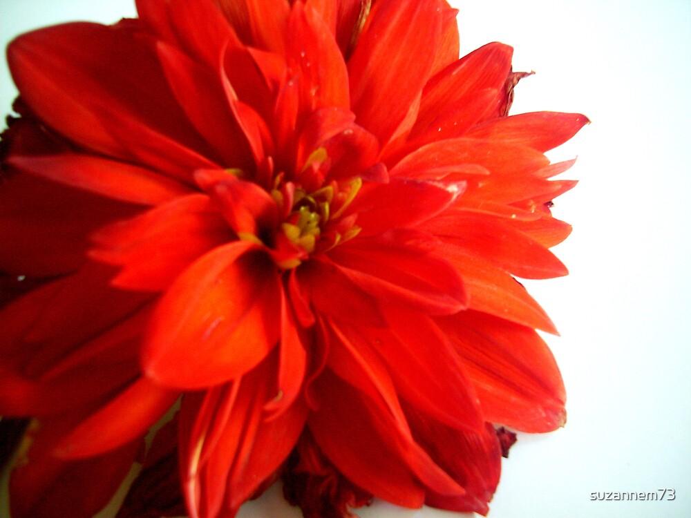 Red Dahlia by suzannem73
