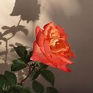 Rose Shadow by kalaryder