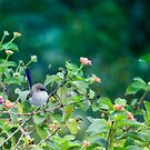 Little blue wren 081 by kevin chippindall