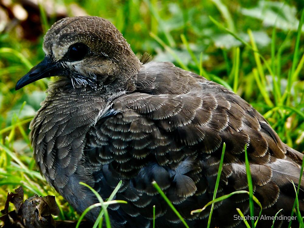 Baby morning dove by Stephen Almendinger