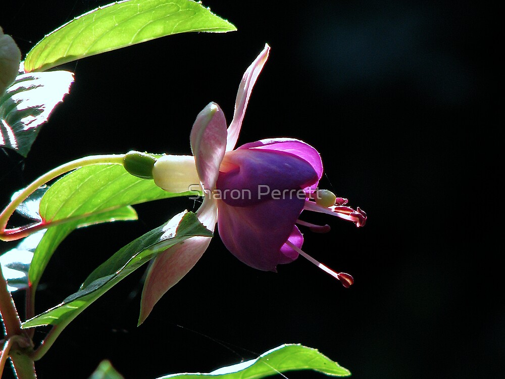 A Fushia by Sharon Perrett