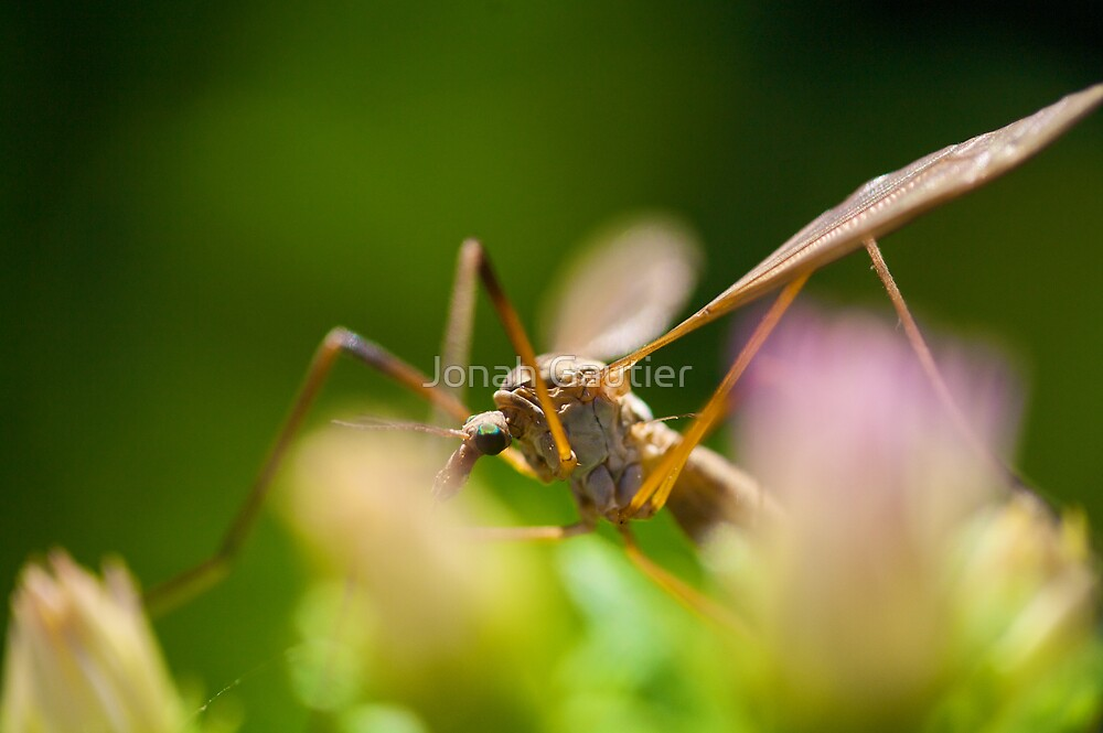 Crane Fly by Jonah Gautier