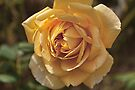 Yellow Rose by Elaine Teague