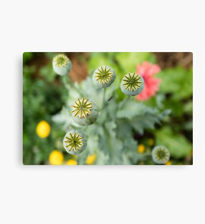 Patterns in Poppy Pods Canvas Print