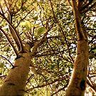 Linden Tree by Pamela Hubbard