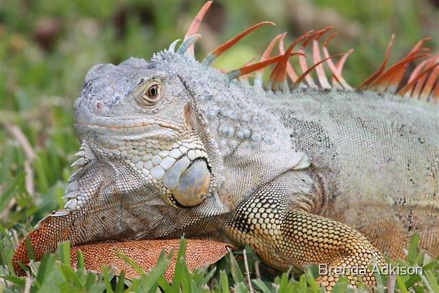 Iguana by Brenda Adkison