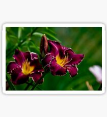 """Thundering Ovation"" Daylily Sticker"