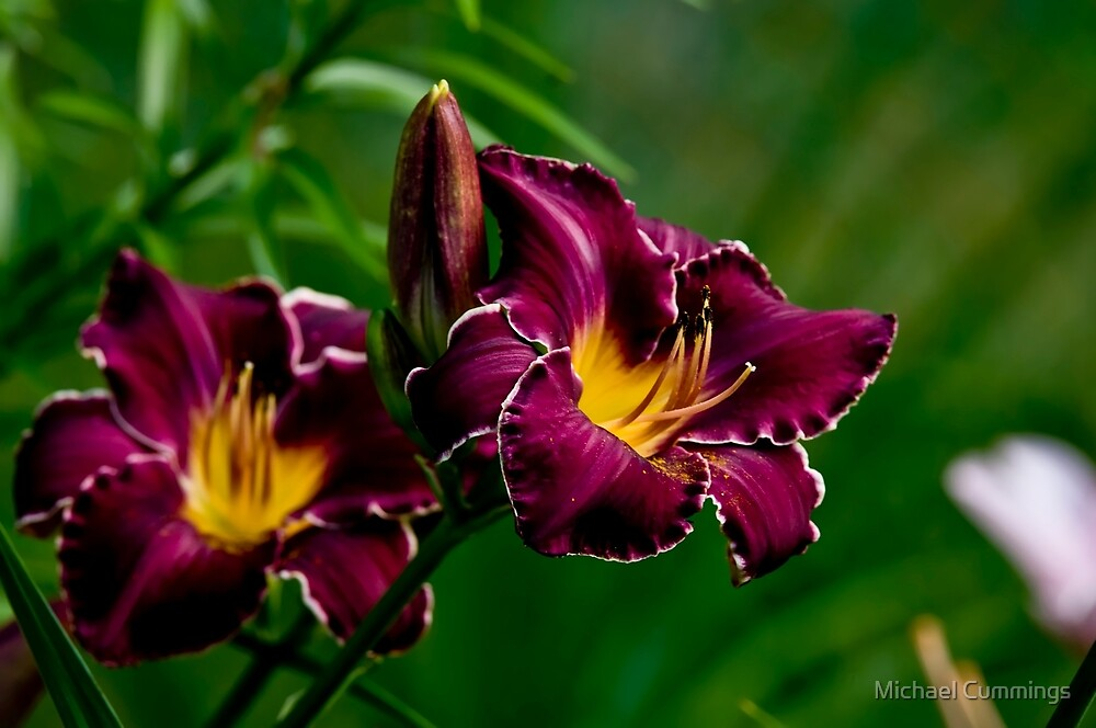 """""""Thundering Ovation"""" Daylily by Michael Cummings"""