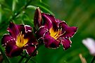 """Thundering Ovation"" Daylily by Michael Cummings"