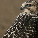 Young Swainson's hawk dawning a cloak of earth tones by Normcar