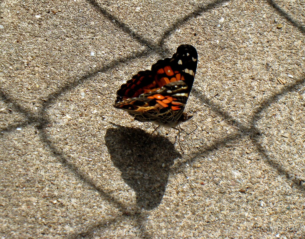 American Beauty Butterfly by Donna R. Cole