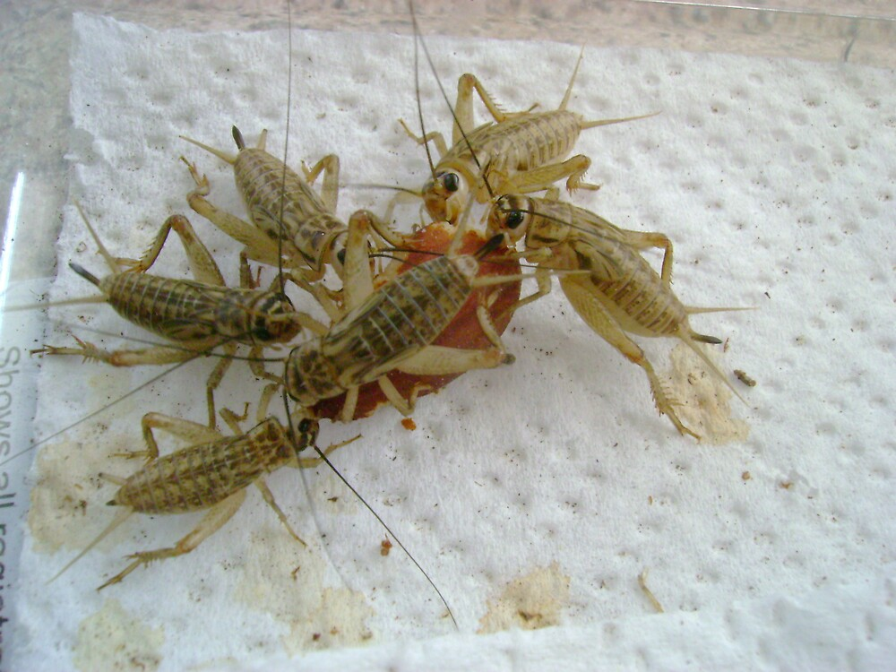 Crickets by Sheri Scherbarth