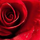 Rose with water drops by Anteia
