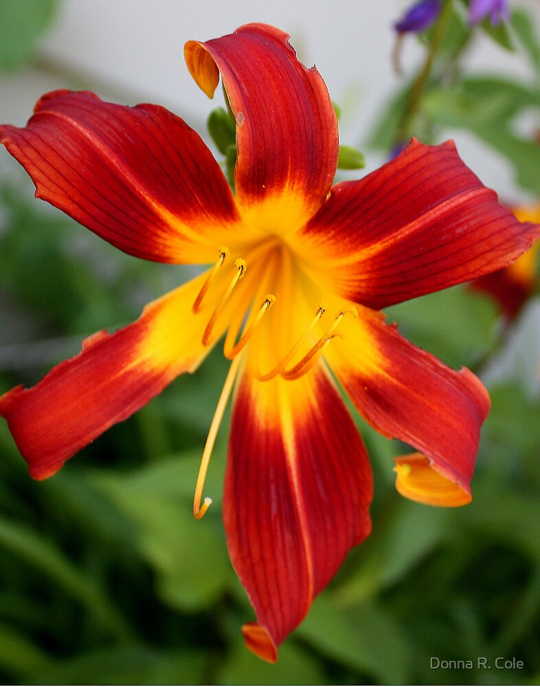 Red Daylily by Donna R. Cole