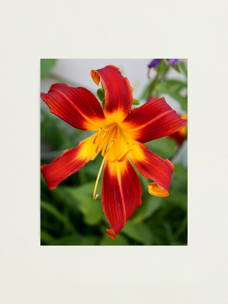 Alternate view of Red Daylily Photographic Print