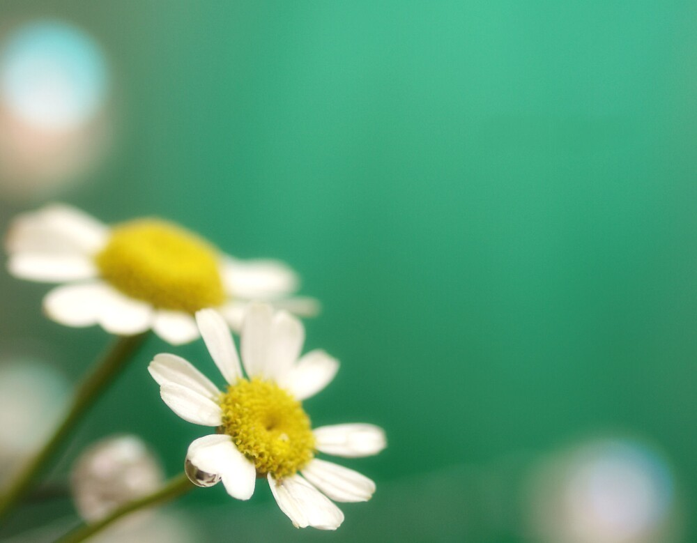 Daisies on Brilliant Green Background by Susan Gary