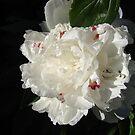 A White Peony by Diane Petker