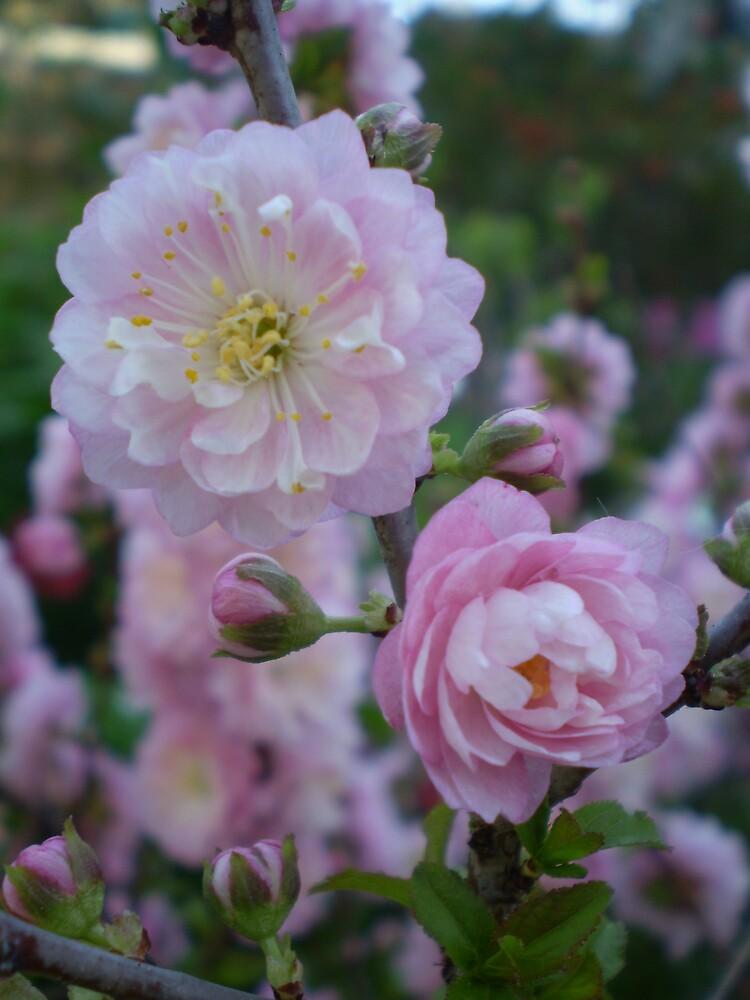 Spring Blossom by veevixen