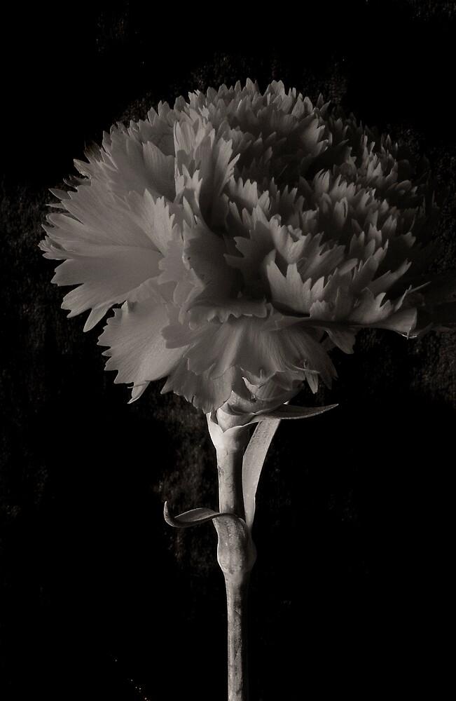 Antique Carnation by Sue Wickham