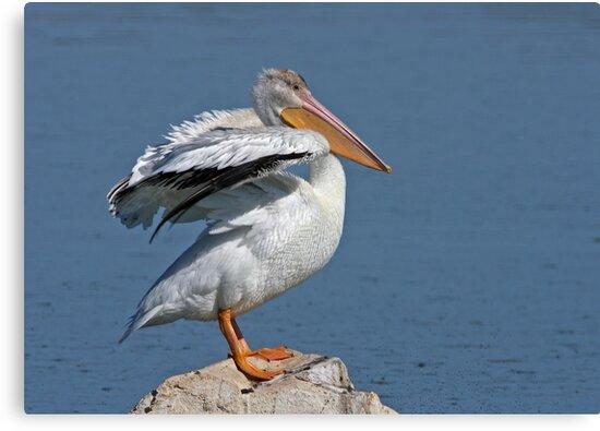 American White Pelican by tomryan
