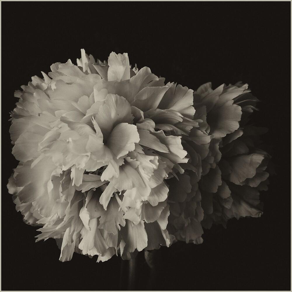 Sepia Rose by Sue Wickham