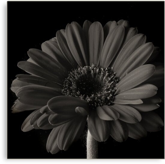 Sepia Gerbera by Sue Wickham