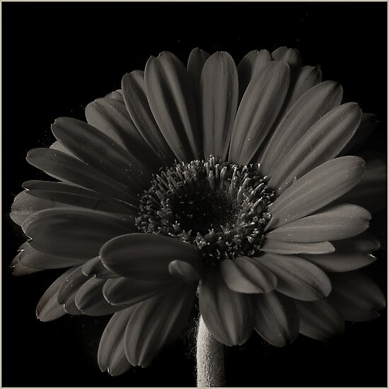 Sepia Gerbera by Sue Wickham